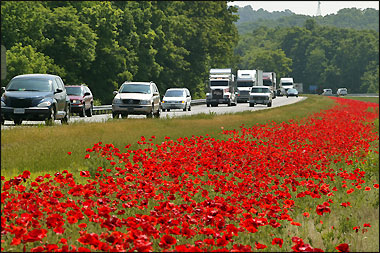 Red corn poppies growing in the median of Interstate 81